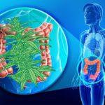 Hátsó ajtó gyógyszer: Kannabisz olaj kúp készítése és alkalmazása