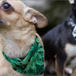 Kutyák kezelése kannabisszal