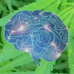 Orvosi kannabisz epilepsziás rohamokra: Három orvos ígéretes adatai