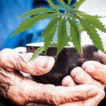 Kannabisz és az idősek