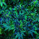 A cannabis sativa antibakteriális hatásainak kémiai vizsgálata