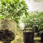 Kannabiszgyökerek: hagyományos gyógymód a gyulladás és fájdalom kezelésére