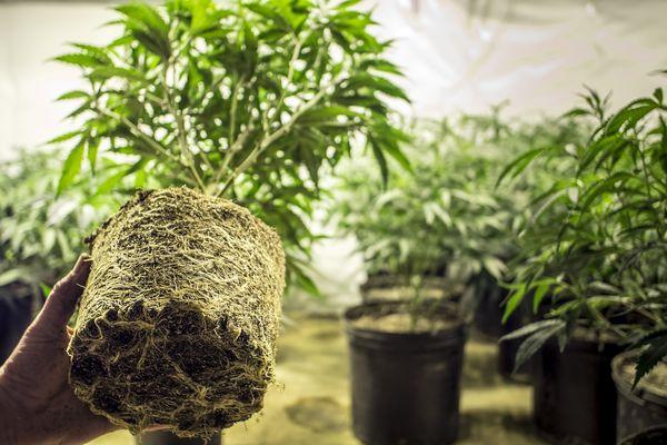 Kannabiszgyökerek: hagyományos gyógymód a gyulladás és fájdalom kezelésére   Magyar Orvosi Kannabisz Egyesület