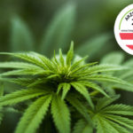 Cannabis sativa, az év gyógynövénye 2018-ban