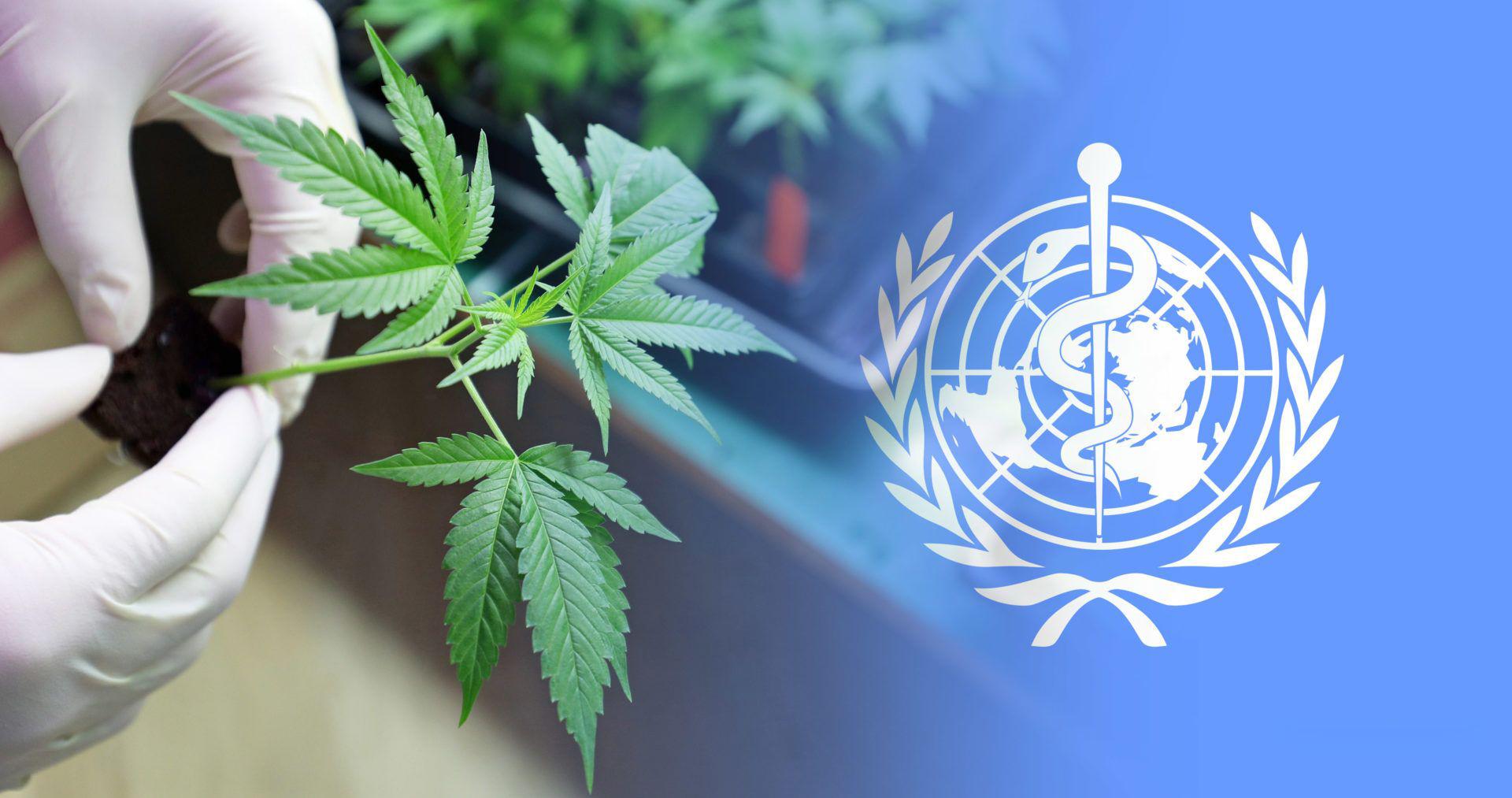 Az ENSZ nyilvánosságra hozza a WHO kannabisz szabályozásáról szavazó országok listáját | Magyar Orvosi Kannabisz Egyesület