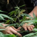 Kannabisz és fémek: A talajokat ellenőrizni kell