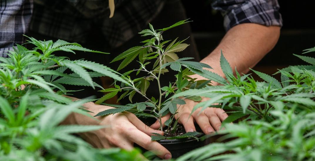 Kannabisz és fémek: A talajokat ellenőrizni kell | Magyar Orvosi Kannabisz Egyesület