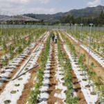 A kannabisz termesztés 750 új munkahelyet fog teremteni Portugáliában