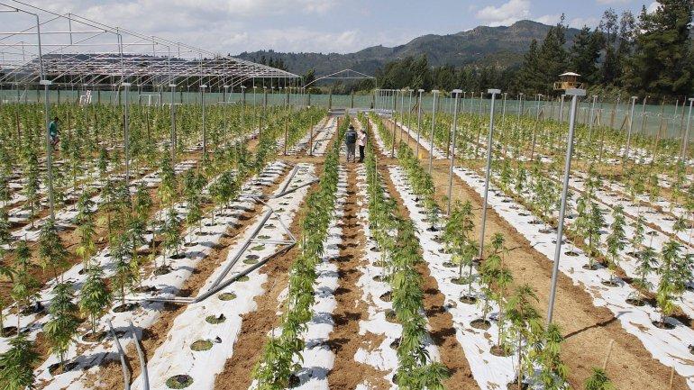 A kannabisz termesztés 750 új munkahelyet fog teremteni Portugáliában | Magyar Orvosi Kannabisz Egyesület
