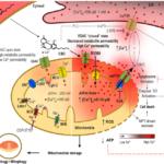 A CBD molekuláris hatásai akut limfoblasztos leukémia esetén