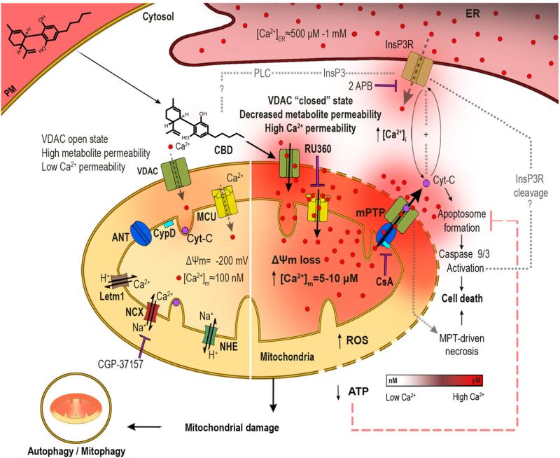 CBD molekuláris hatásai akut limfoblasztos leukémia esetén   Magyar Orvosi Kannabisz Egyesület
