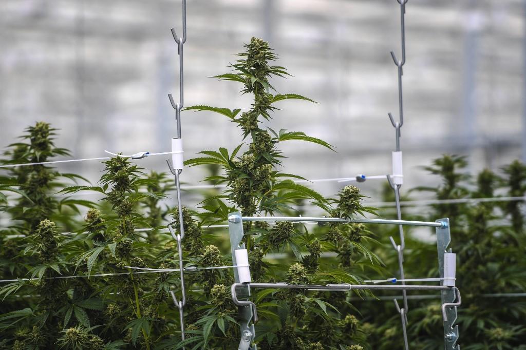 Az orvosi kannabisz hamarosan legális lehet Svájcban | Magyar Orvosi Kannabisz Egyesület