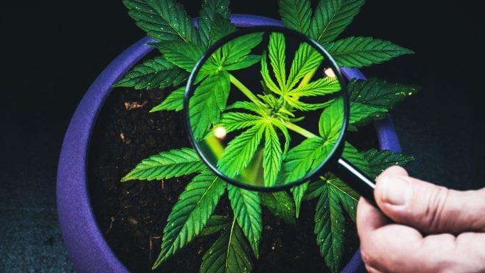 Klinikai vizsgálat indulhat a hasnyálmirigyrák kezelésére egy kannabiszból származó vegyülettel | Magyar Orvosi Kannabisz Egyesület