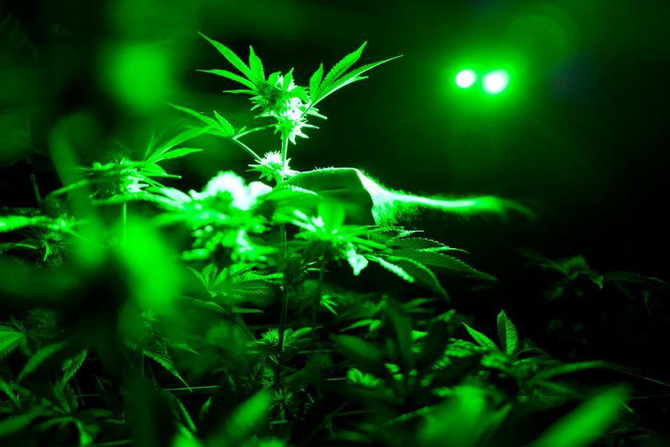 A nagy kannabiszcégek bukása   Magyar Orvosi Kannabisz Egyesület