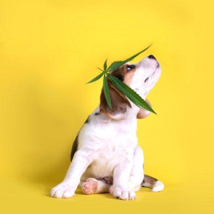 CBD terápia állatoknak | Magyar Orvosi Kannabisz Egyesület