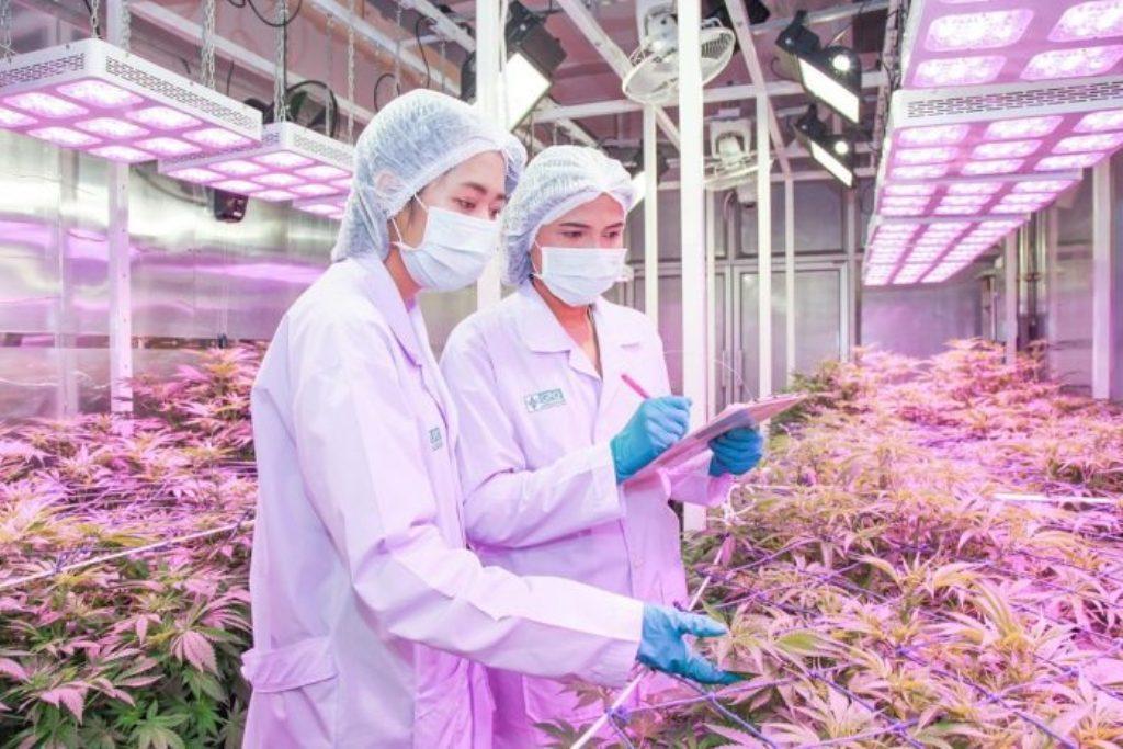 """Thaiföld csatlakozik az """"1 százalékosok klubjához"""" a THC-határérték megállapításában   Magyar Orvosi Kannabisz Egyesület"""
