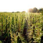 Az amerikai gazdák sürgetik az 1% THC-határértéket, valamint a hosszabb betakarítási időszakot