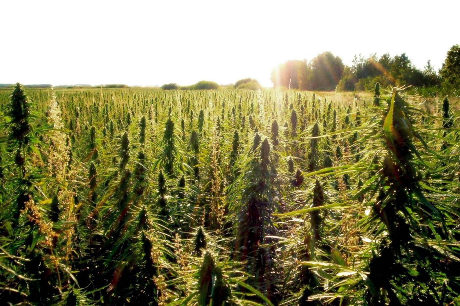 Az amerikai gazdák sürgetik az 1% THC-határértéket, valamint a hosszabb betakarítási időszakot   Magyar Orvosi Kannabisz Egyesület