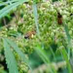 Egy tanulmány szerint a kender segíti a méhpopulációkat