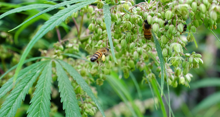 Egy tanulmány szerint a kender segíti a méhpopulációkat | Magyar Orvosi Kannabisz Egyesület