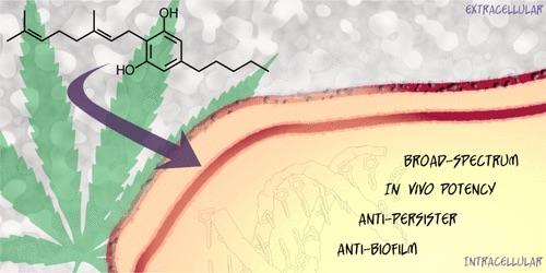 A kannabisz rejtett antibiotikum-potenciáljának feltárása   Magyar Orvosi Kannabisz Egyesület