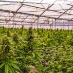 A svájci parlament engedélyezi az orvosi kannabisz termesztését és exportját