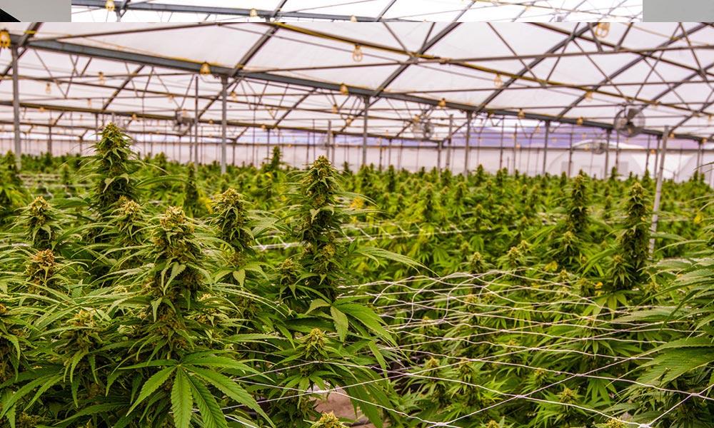 A svájci parlament engedélyezi az orvosi kannabisz termesztését és exportját | Magyar Orvosi Kannabisz Egyesület