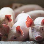 A kocák etetése kendermagolajjal javította a malacok zsírsav-profilját