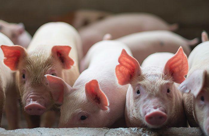 A kocák etetése kendermagolajjal javította a malacok zsírsav-profilját | Magyar Orvosi Kannabisz Egyesület