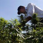 Libanon legalizálja a kannabisz gyógyászati célú termesztését