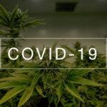 Három izraeli COVID-kannabisz vizsgálat indul