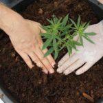 A cseh kormány jóváhagyta az orvosi kannabisz széles körű termesztését és exportját