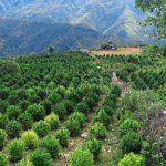 Albánia közelebb jutott a kannabisz legális termesztéséhez