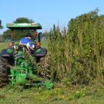 Írországban egyre több kendert termesztenek