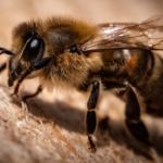 A kenderkivonat védi a méheket a növényvédőszerek által okozott mérgezéstől