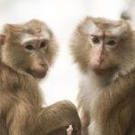 A THC gátolja a gyulladáskeltő reakciókat a HIV majommodelljében