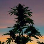 Kannabisz a drogfogyasztás és a közegészségügyi kiadások csökkentése érdekében