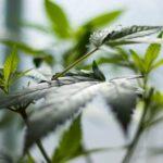 Az Egyesült Királyságban piacra kerül az első orvosi kannabisz virágzat