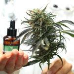 Az alacsony THC tartalmú kannabisztermékek elérhetősége mellett csökkent a vényköteles szorongásoldók, nyugtatók használata