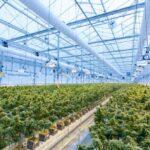 Németország államilag támogatja az orvosi kannabisz termesztését